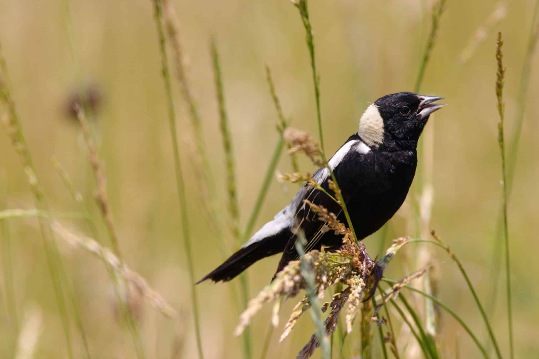 Bobolink perched in the tall grass