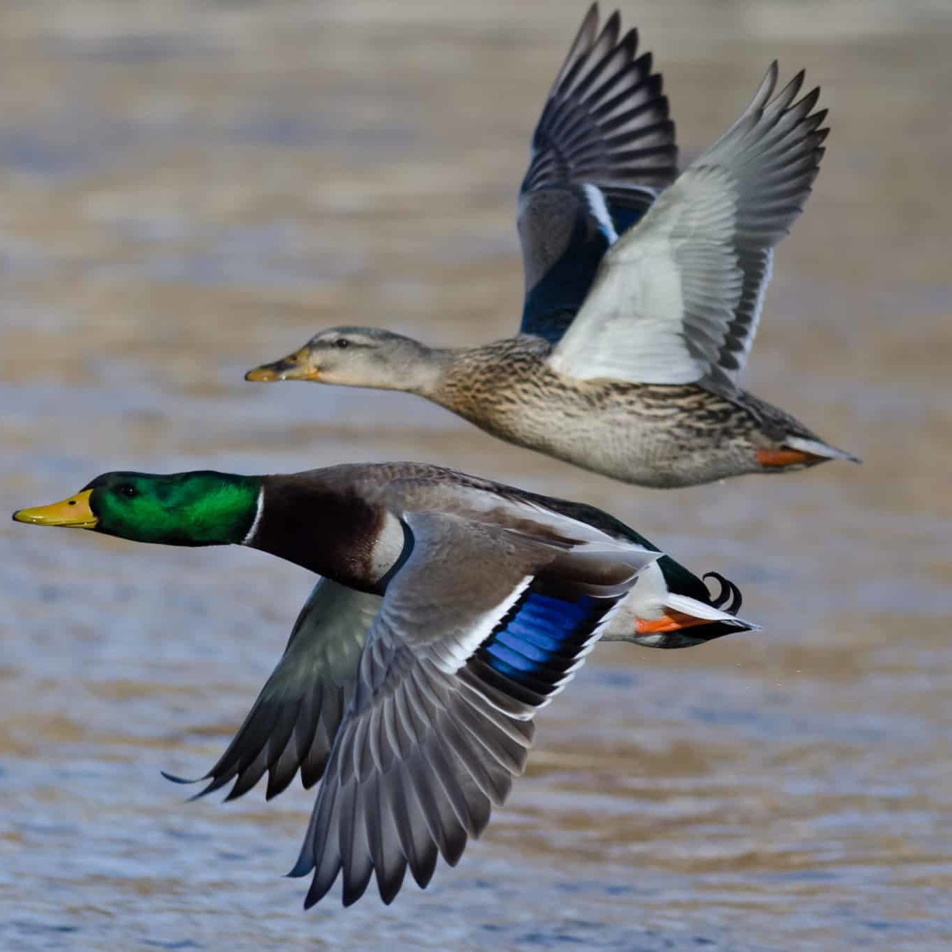 Pair of Mallard Ducks Flying Low Over the River